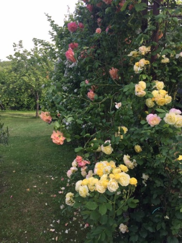 rapsodia di rose